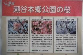 本郷公園の桜-1