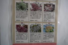本郷公園の桜-2